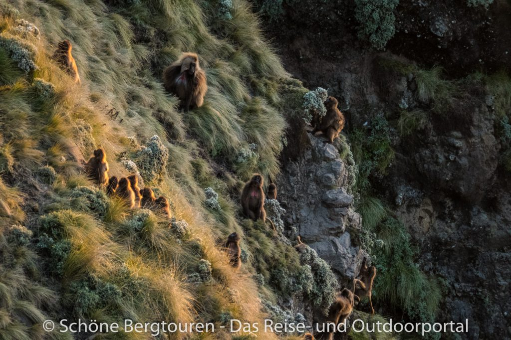 Aethiopien - Geladas beim Abstieg am Mount Kedadit