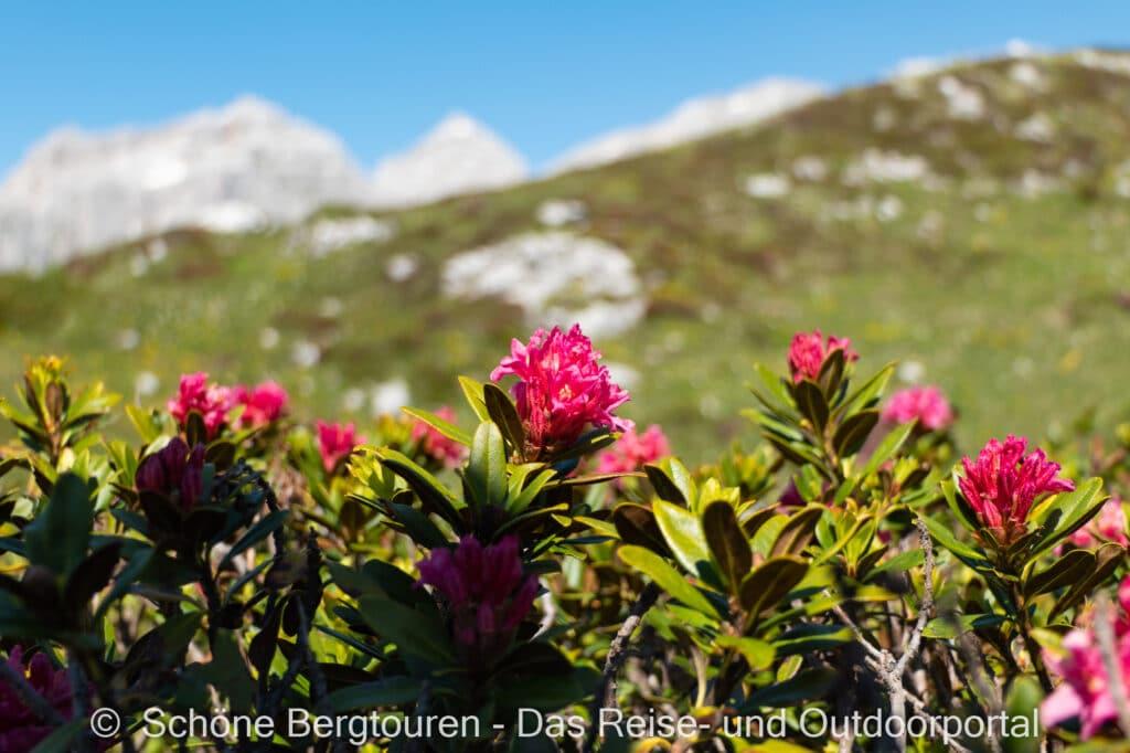 Trentino - Alpenrosen am Monte Spinale